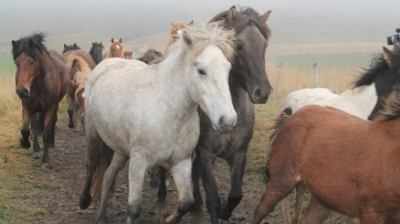The Icelandic horse has over 40 colors and 100 variations of color.