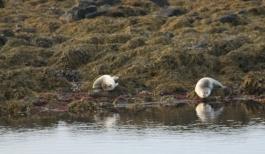 Seals at low tide at Illugasatadir