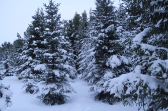 Snow-covered Christmas trees. Anyone can come and select their Christmas tree here. The trick is carrying it to your car.